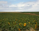 Fields upon fields of sunflowers following the sun