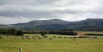 Dairy cows grazing in their paddock
