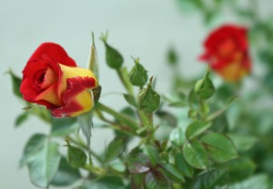 "Our newest rose... ""Mustard & Ketchup"" - YES... that IS it's name! Isn't that cool!"