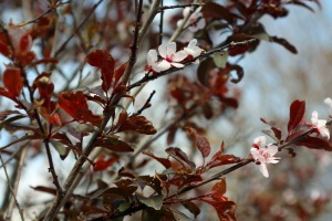 """Our """"Fruitless Plum Tree"""", still just a baby but it puts out flowers for several months... and now is beginning to leaf out as well."""