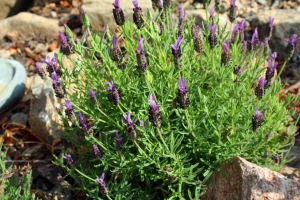 Lavender, oh my it smells good!