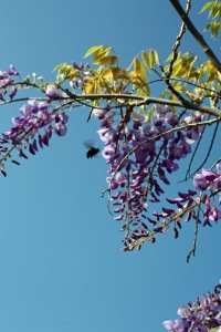 I love the look of Wisteria dripping down from the eaves of the house. The BIG wood bees love the Wisteria too.😏