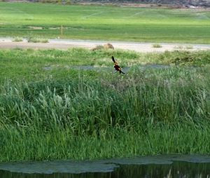 """A Red Winged Black Bird coming in to land alongside """"Lake Scott""""."""