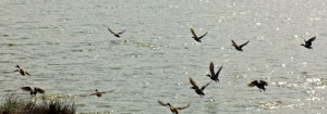 Startled the ducks fly off to complain noisily in the air until we leave.