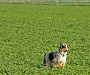 Green fields of Alfalfa make a perfect playground for an energetic young dog. Here he is waiting patiently for me to throw a ball for him to go find and fetch.